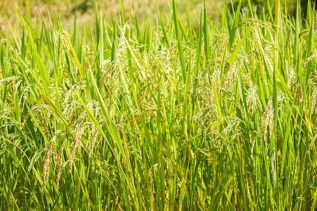 水田の登熟米のクローズアップ