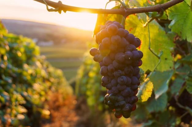 秋の収穫、フランスのシャンパン地方でつるブドウ