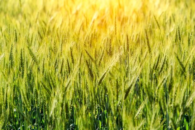 Поле зеленой травы, поле богатого урожая пшеницы, свежий урожай пшеницы.