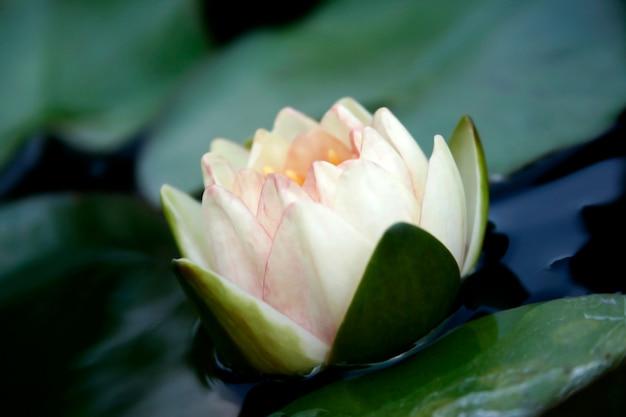 水の上の蓮の花のイメージ