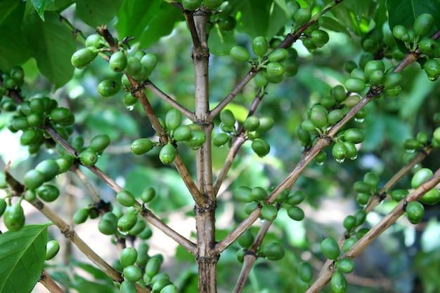 枝に緑のコーヒー豆とコーヒーの木