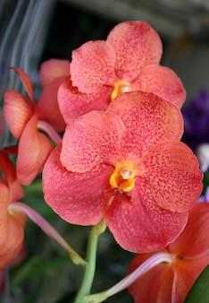 オレンジ色の蘭の花