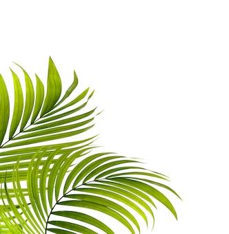 Зеленые листья пальмы на белом фоне