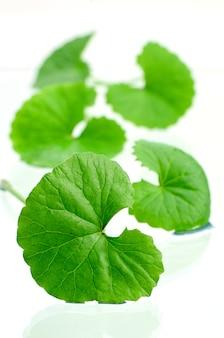 インドペニーワート脳トニックハーブ植物。