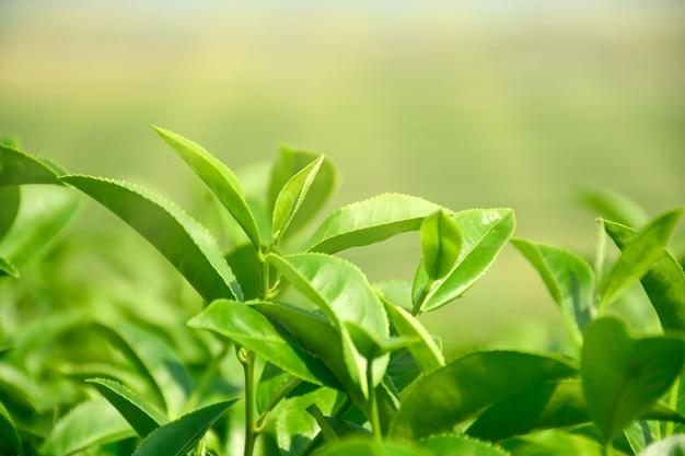 プランテーション分野で有機緑茶の朝の光で収穫時期