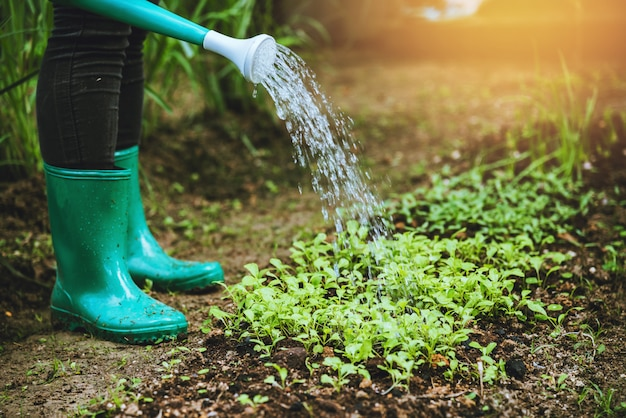 野菜畑の白菜に水をまく女性