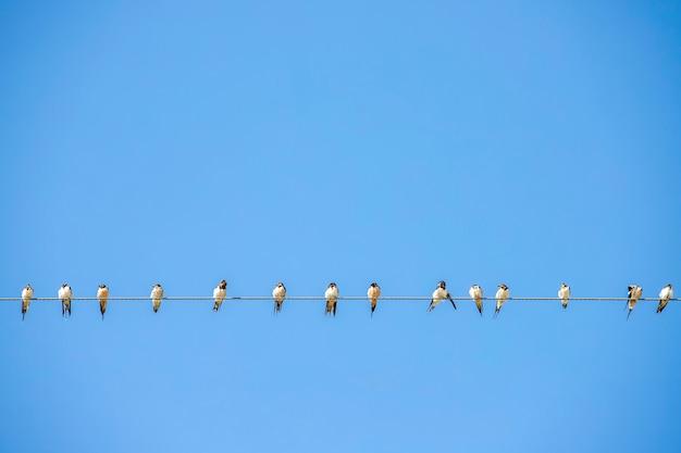 鳥、ツバメの群れ、電力線に止まる