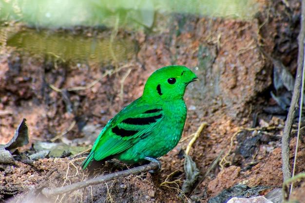 自然の中で小枝の上に座って緑の鳥