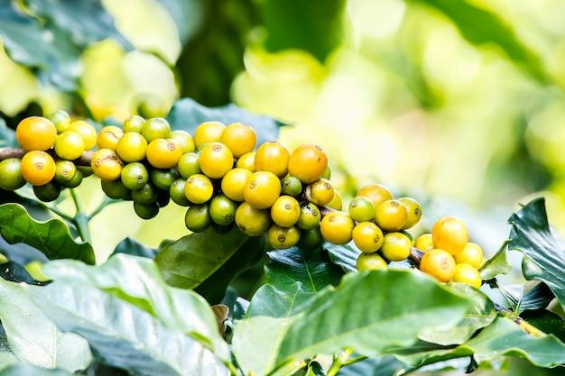 Крупный план свежих кофейных зерен созревания растет на дереве с кофейных листьев на заднем плане