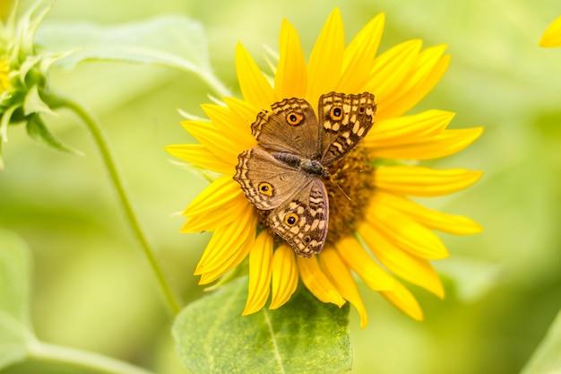 ひまわりにとまる蝶