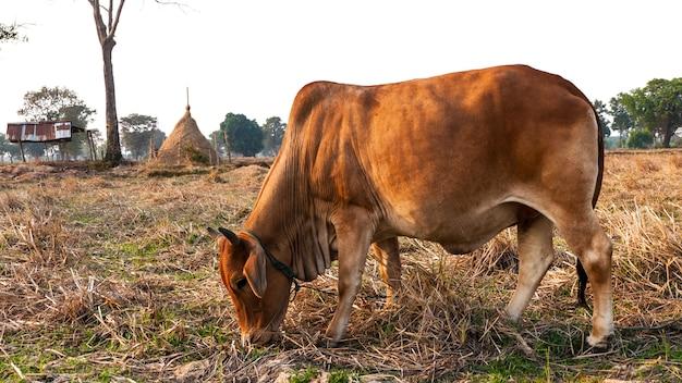 夏の牧草地で牛
