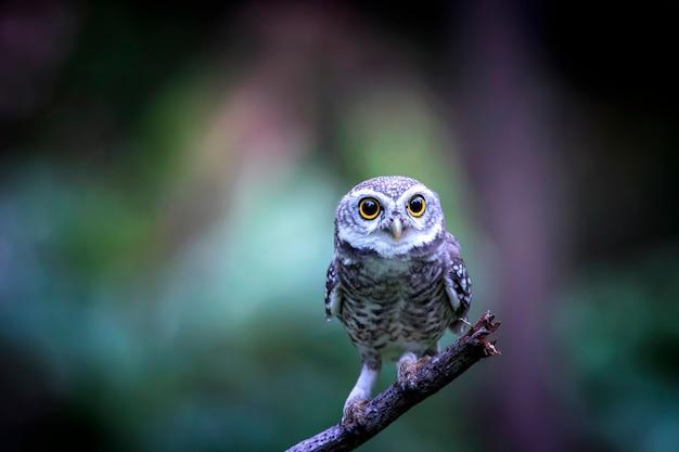 自然の中で見ているフクロウ、斑点を付けられたオウレット(アテネブラマ)