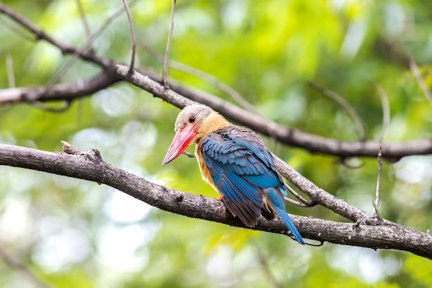 Птица, аист в виде зимородка, на ветке в лесу