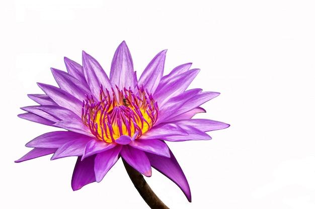 蓮の花池の美しいピンクのスイレン