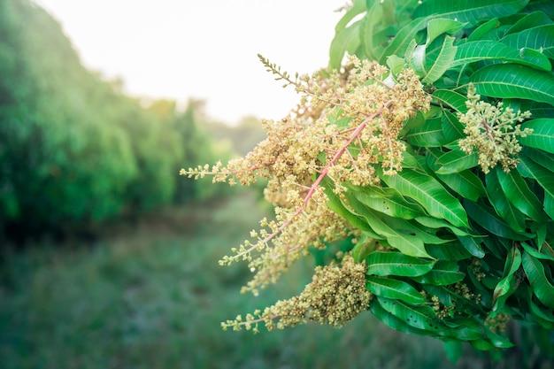 開花した農業マンゴー林の近く。