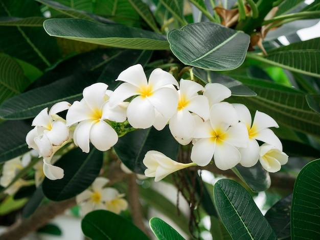 木と葉に白いプルメリアの花