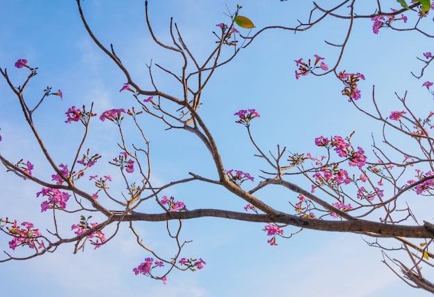 Красивое цветущее розовое дерево труба цветы в парке