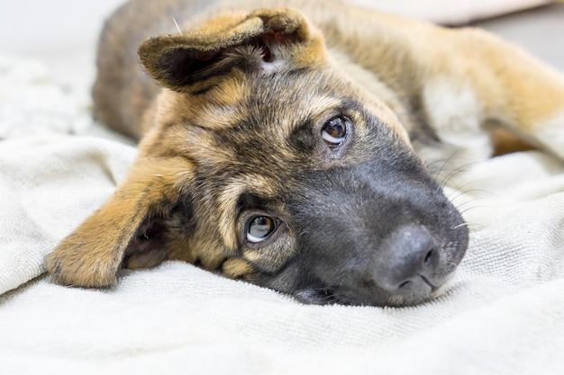 Коричневый щенок, спящий в доме на ткани, зрительный контакт