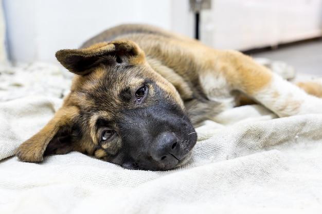 Коричневый щенок спит дома на ткани, зрительный контакт