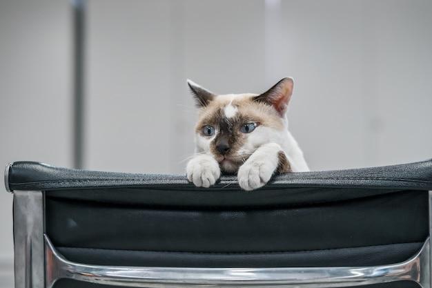 黒い椅子に茶色と白の子猫