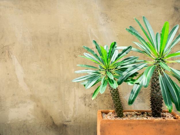 鍋に緑のサボテン。コピースペース付きのテラコッタポットで成長しているマダガスカルのヤシのサボテン。