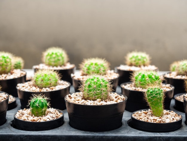 コピースペースを持つサボテンファームの鍋に多くの成長緑のサボテンをクローズアップ。