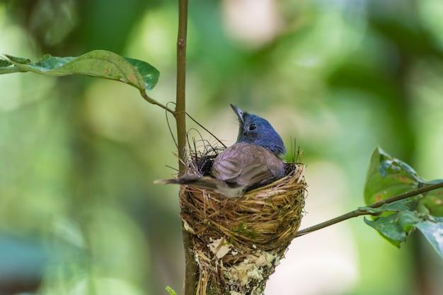 巣の中で雛を保護している黒い裸の青いフライキャッチャーの鳥の母。