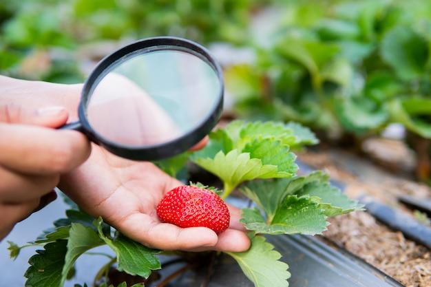 虫眼鏡が有機農場でイチゴの植物をチェックを持っている女性の手。