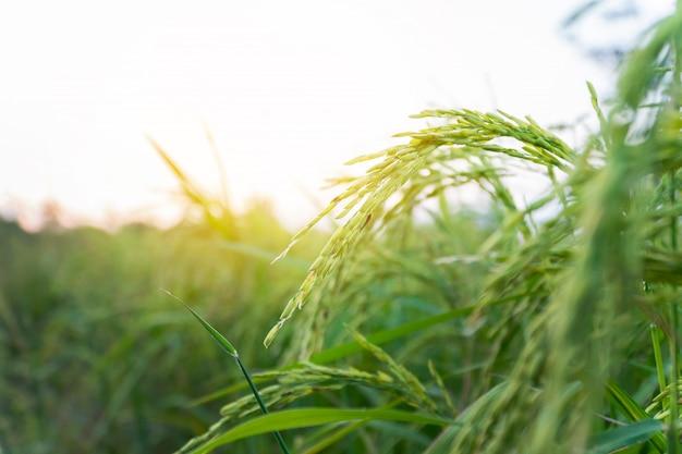 畑で熟した米を閉じます。