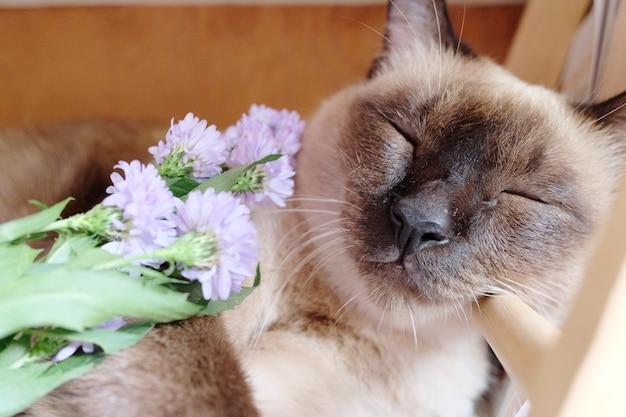 シャム猫は窓の近くのテーブルに紫マーガレットデイジーの花で眠っている。