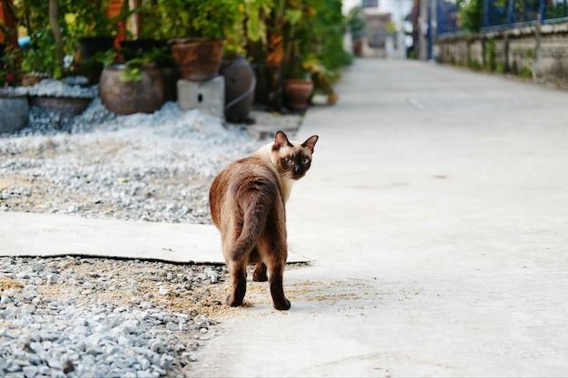 道路上を歩いているシャム猫