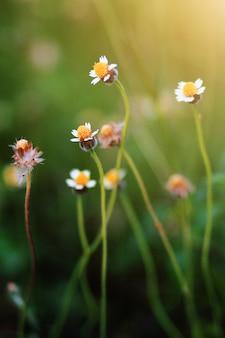 Красивая трава дикой ромашки цветы на лугу с естественным солнечным светом.