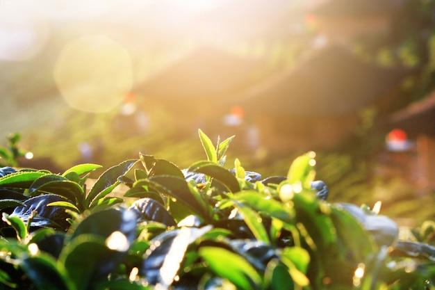 Красивый восход солнца, сияющий на чайных листьях в чайных плантациях на горе в таиланде
