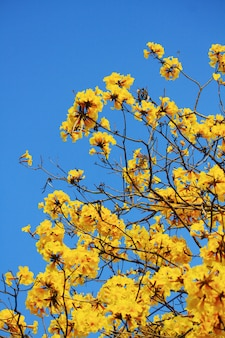 Блоссом гном золотая труба цветы с голубым небом.