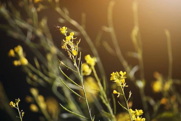 春の自然の日光で蜂と花の黄色い草の花。