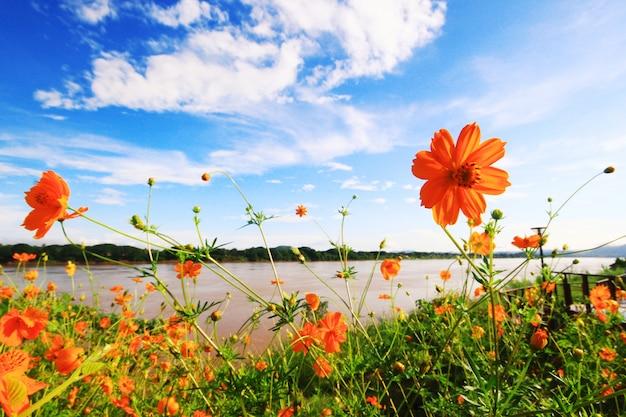 Красивое поле серы или желтого космоса цветет поле с голубым небом в солнечном свете около берега реки.