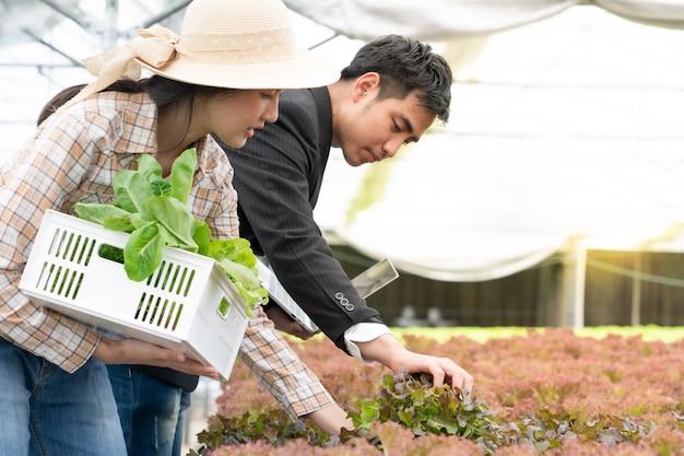 ビジネスマンおよび農夫は農場で高品質の水耕野菜を選ぶ