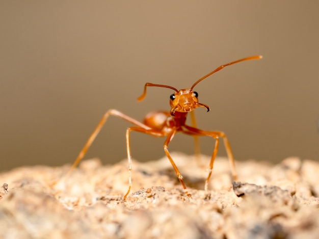 ぼやけた茶色の木に赤アリ昆虫