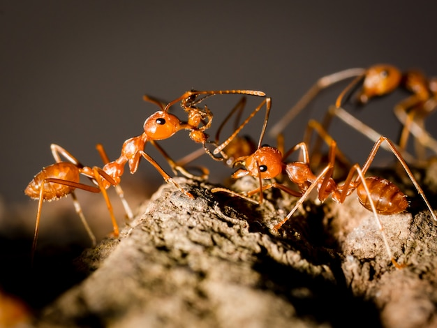 アリは食べ物を運ぶと黒の暗い背景に自然の中の木の上を歩く