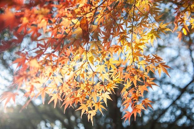 Фоновая текстура осеннего листа (момиджи) с теплым солнечным светом в японии.