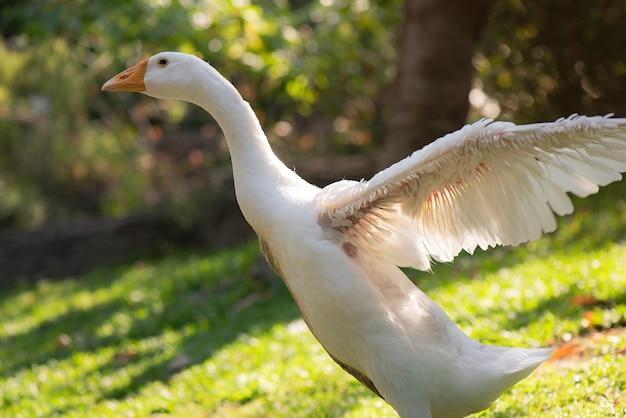 白いアヒルの緑の芝生の上に立って