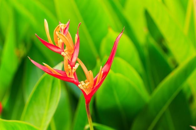 Цветок хеликонии