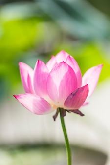 蓮の花と蓮の花の植物