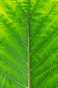 詳細なパターンと緑の葉の背景、庭の緑豊かな象の耳。