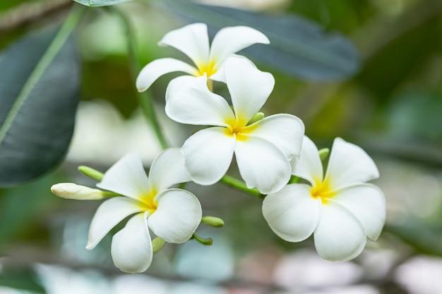 Плюмерия цветок в саду с фоном природы