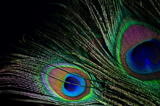 暗闇の中で孔雀の羽。