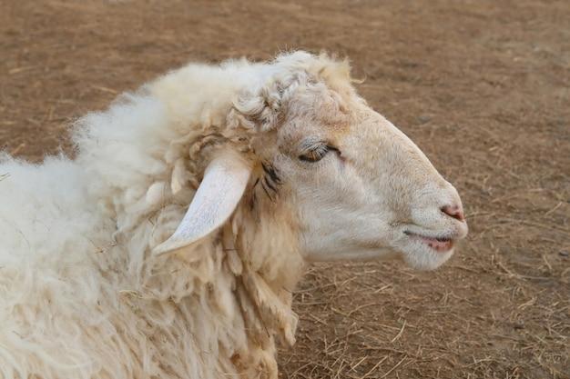 羊の顔、側面図