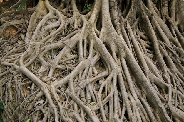 ビッグバンヤンツリーの根