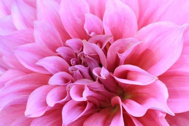 ピンクのダリアの花