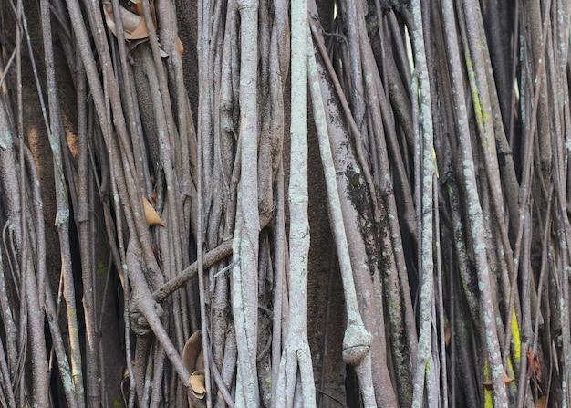 大きな木の根